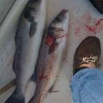 Pêche de bars